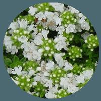 White Thyme