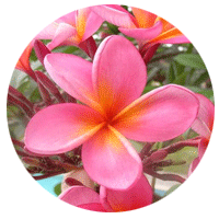Frangipani Rose