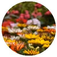 Orman Flower