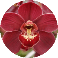 Red Fury Orchid